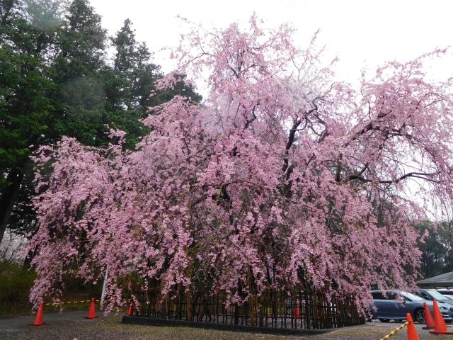 成田市公津公民館のしだれ桜と宗吾霊堂の桜が満開でした