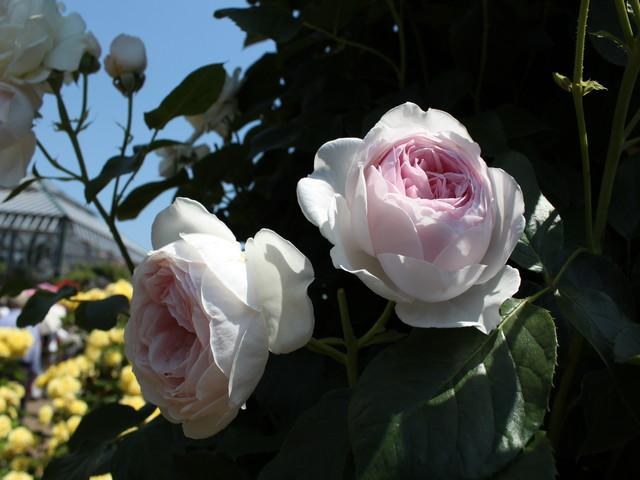 新しいバラを購入!満開の京成バラ園に行って来ました②