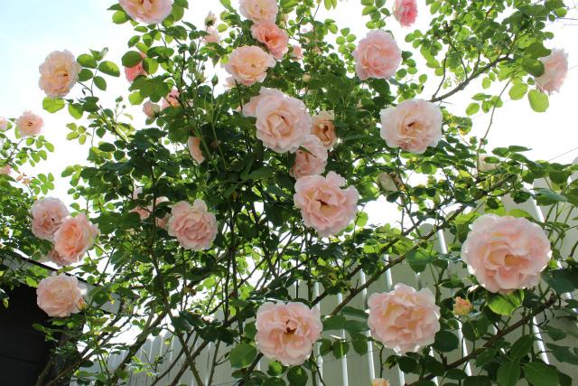 我が家のバラもついにピーク!?ロココが満開!やっとバレリーナも・・・